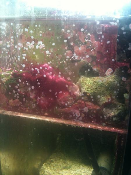 Coral Reef Aquarium - Basics - Red slime algae?