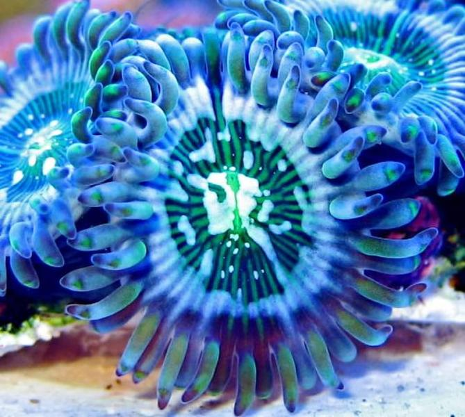 Coral Reef Aquarium - Coral Collector - Acid Drop Paly