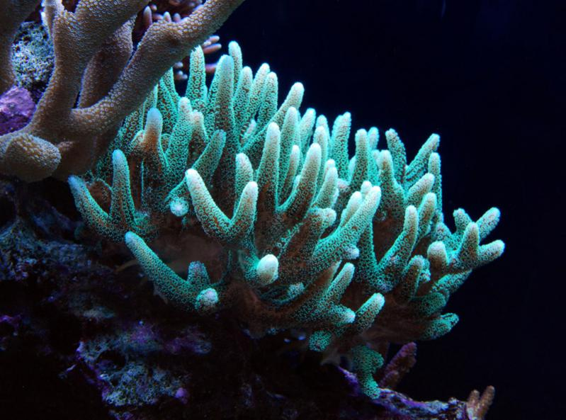 Coral Reef Aquarium - Coral Collector - Birdsnest