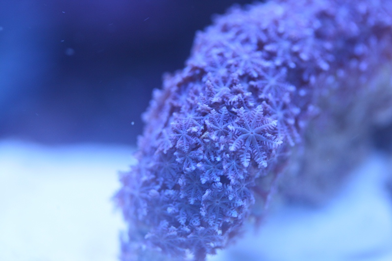 Coral Reef Aquarium - Coral Collector - Blue Anthelia