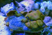 -zooanthid-rock-1-ps-jpg