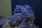-candycane-coral-2-jpg