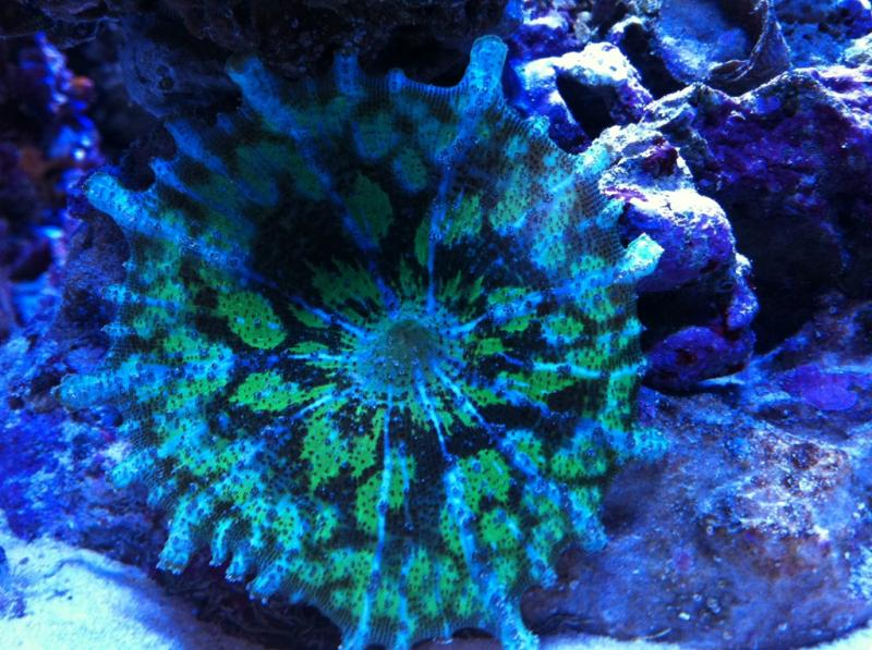 Coral Reef Aquarium - Coral Collector - Caribbean Umbrella Mushroom