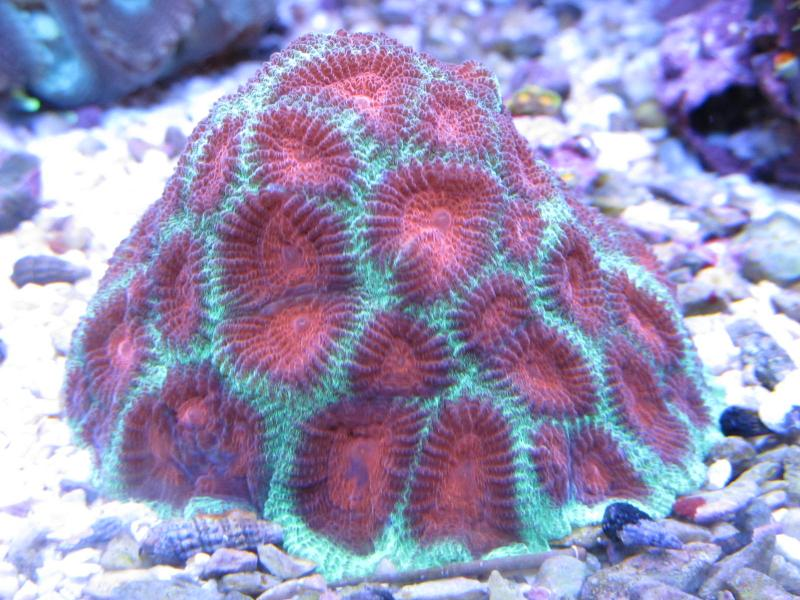 Coral Reef Aquarium - Coral Collector - Christmas Tree Favia.