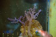 -colt-coral-8-ps-jpg