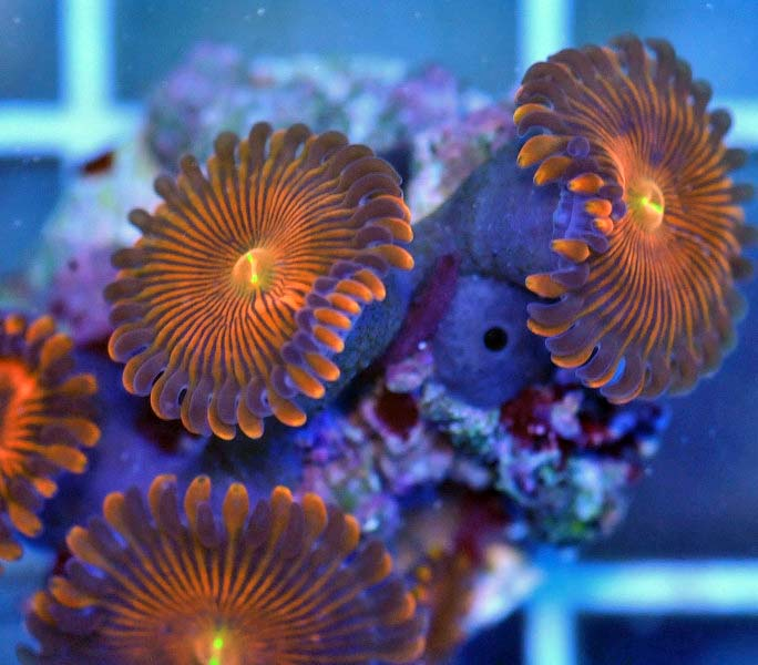 Coral Reef Aquarium - Coral Collector - Envy Oranges Palys