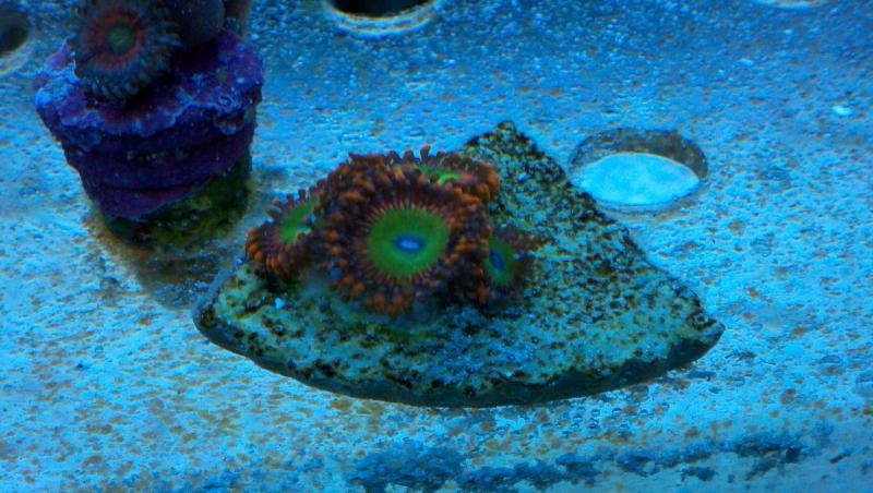 Coral Reef Aquarium - Coral Collector - Go minnesota wild candy apple reds
