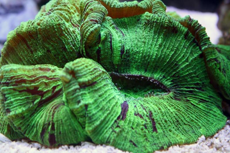 Coral Reef Aquarium - Coral Collector - Green Brain Coral