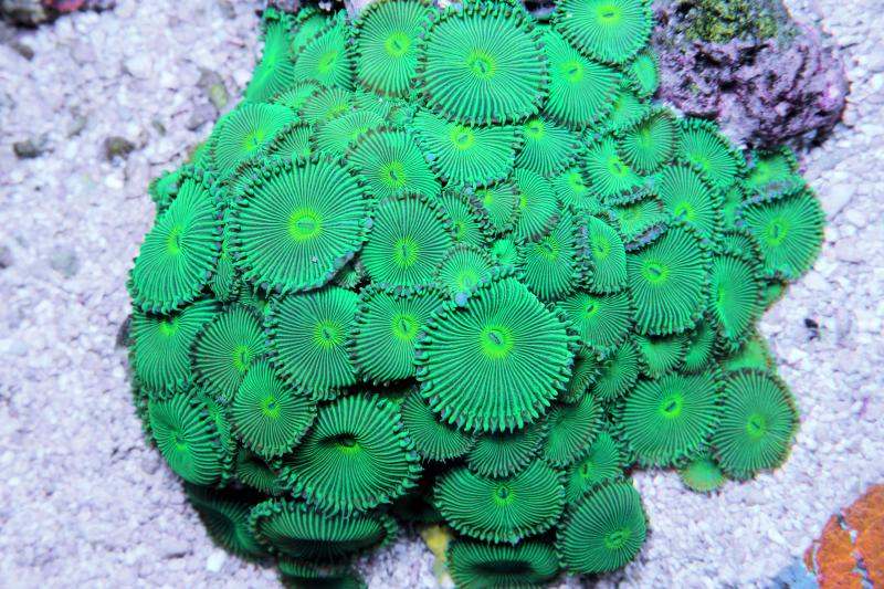 Coral Reef Aquarium - Coral Collector - Green Button polyps