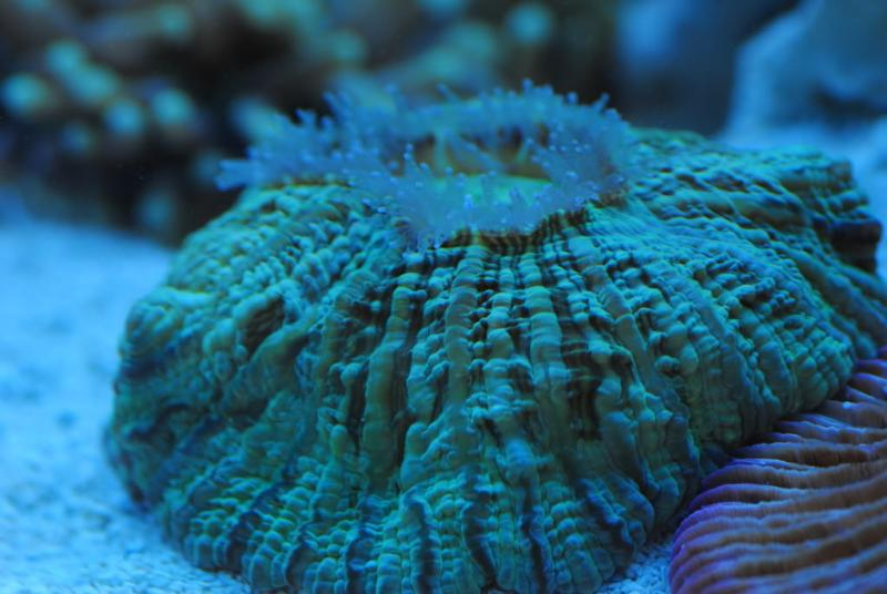 Coral Reef Aquarium - Coral Collector - Green cynarina