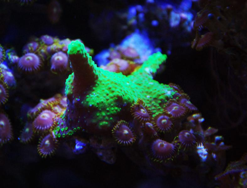 Coral Reef Aquarium - Coral Collector - Green encrusting stick
