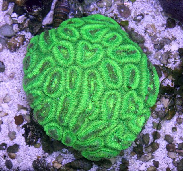 Coral Reef Aquarium - Coral Collector - Green Faviidae