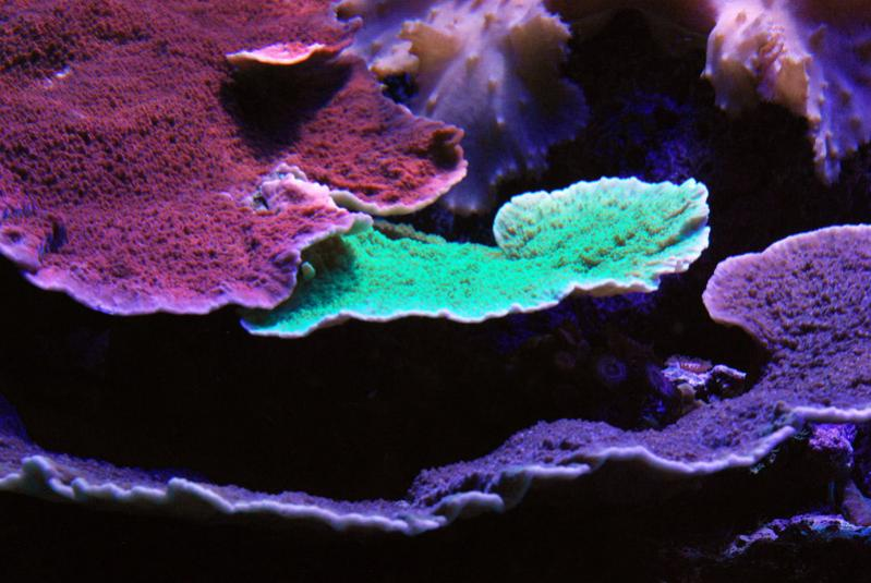 Coral Reef Aquarium - Coral Collector - Green, red and purple Montiporas
