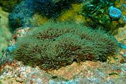 -green-star-polyps-1-ps.jpg
