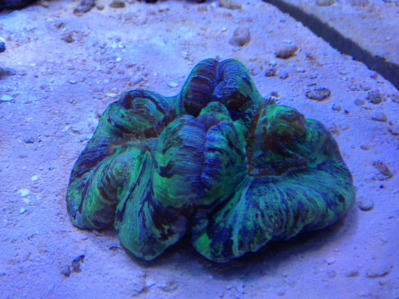 Coral Reef Aquarium - Coral Collector - Green Trachyphyllia
