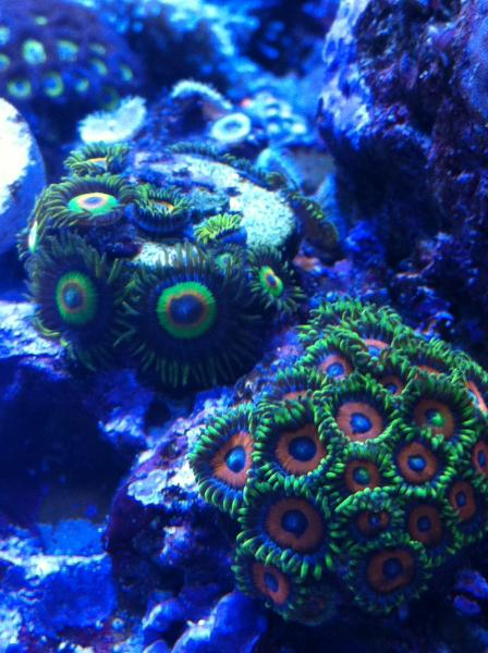 Coral Reef Aquarium - Coral Collector - Green Zoas
