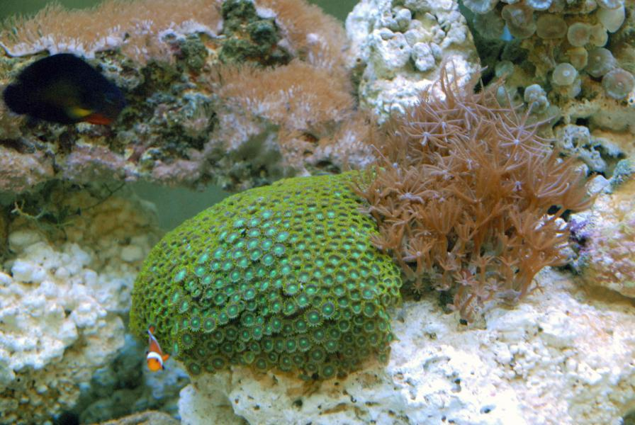 Coral Reef Aquarium - Coral Collector - Green Zooanthid Colony