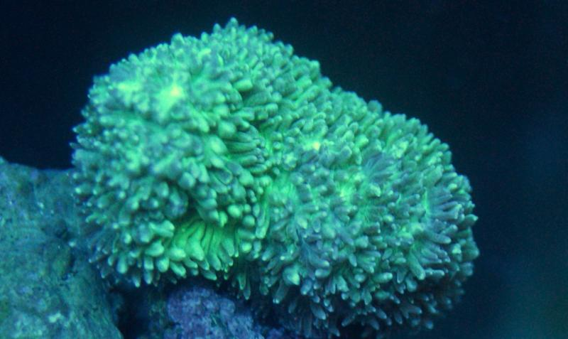 Coral Reef Aquarium - Coral Collector - Hydnophoria