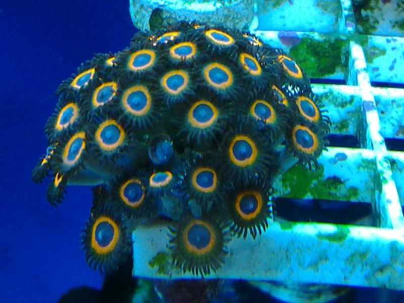 Coral Reef Aquarium - Coral Collector - Johnny Sea Pumpkins