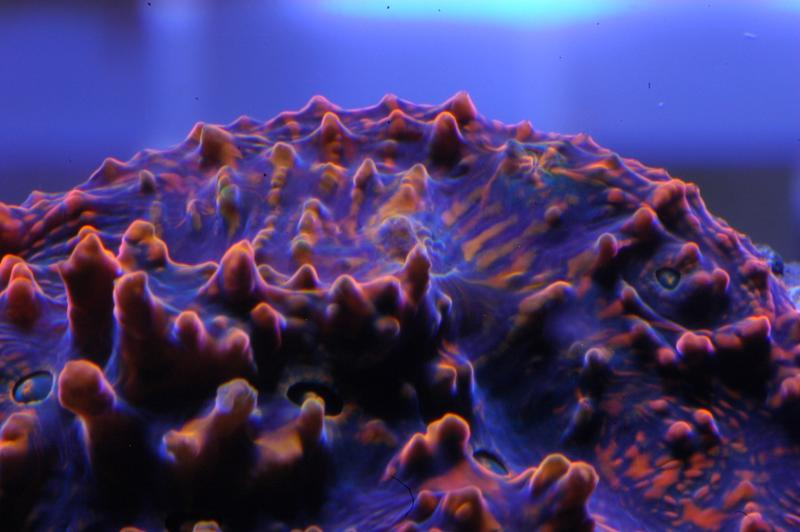 Coral Reef Aquarium - Coral Collector - Living Lava Chalice