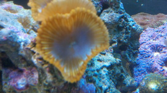 Coral Reef Aquarium - Coral Collector - Loving cinnamon polyps!