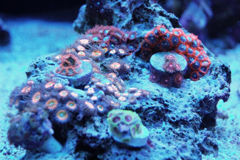 Coral Reef Aquarium - Coral Collector - Mixed Rock