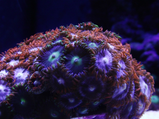 Coral Reef Aquarium - Coral Collector - New Zoas