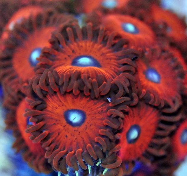 Coral Reef Aquarium - Coral Collector - Poppies