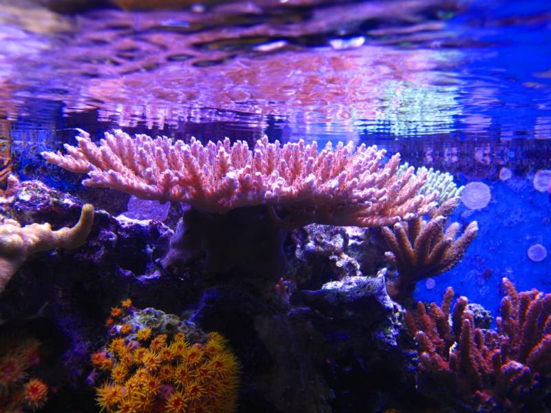 Coral Reef Aquarium - Coral Collector - Purple table