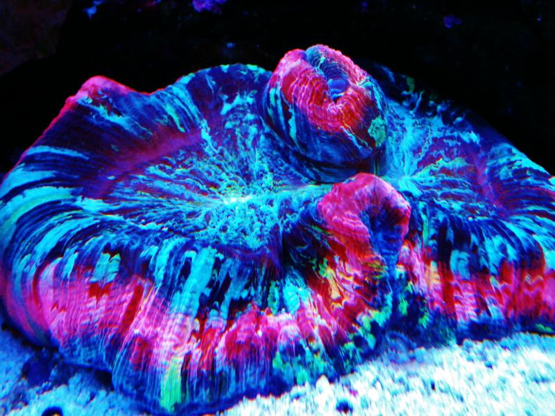 Coral Reef Aquarium - Coral Collector - rainbow brain