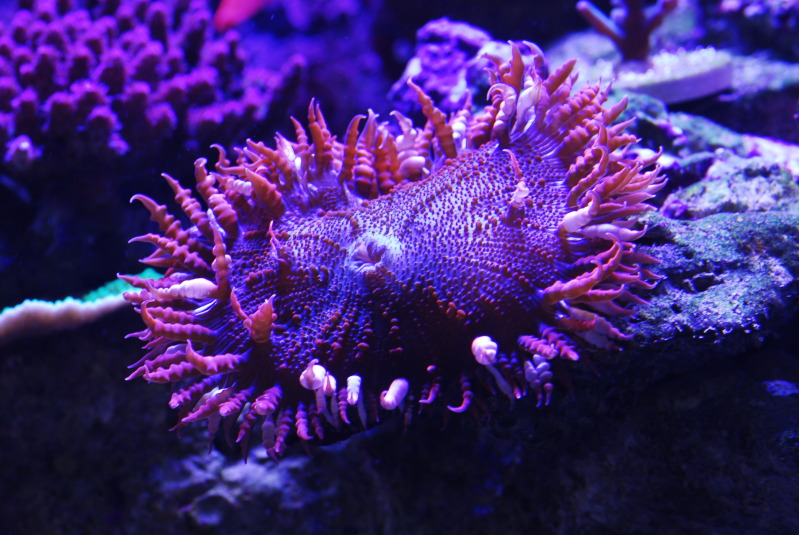 Coral Reef Aquarium - Coral Collector - Red Rock Anemone