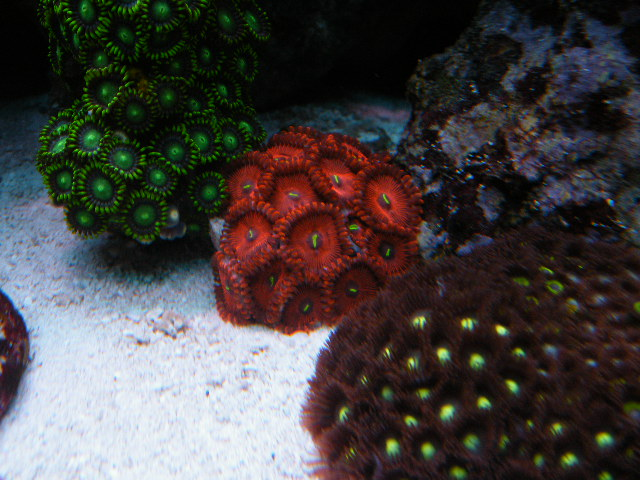 Coral Reef Aquarium - Coral Collector - RPE