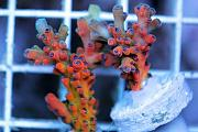 Reef Aquarium Coral Collector
