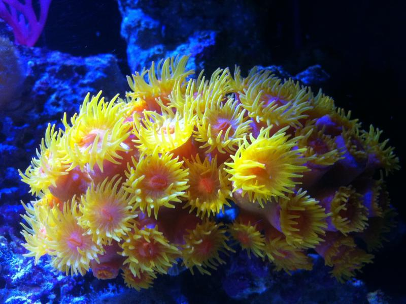 "Coral Reef Aquarium - Coral Collector - ""The Sunshine of Your Love"" Sun Coral"