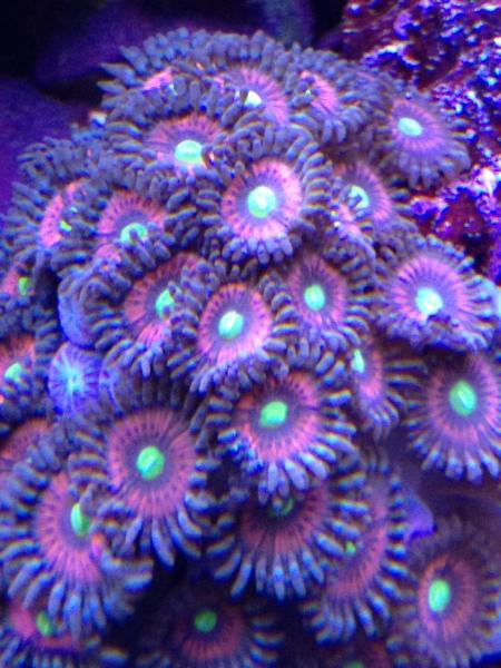 Coral Reef Aquarium - Coral Collector - Unnamed Zoa's