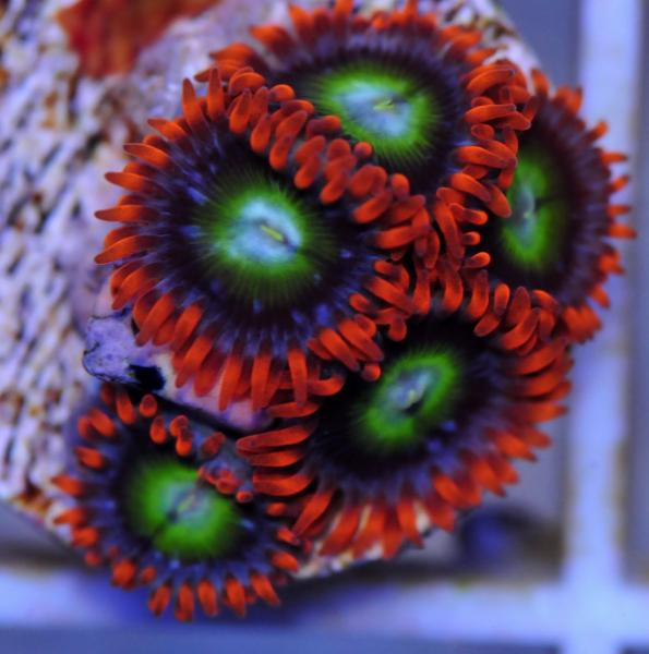 Coral Reef Aquarium - Coral Collector - what you think?