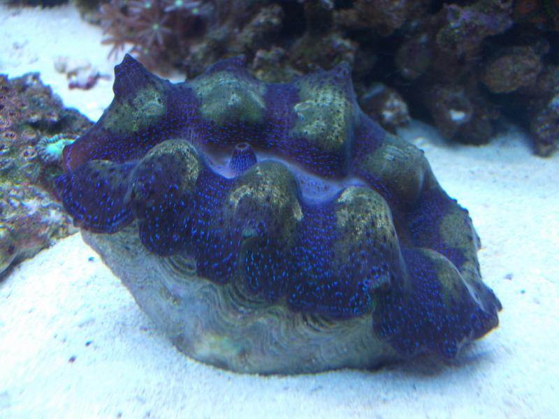 Coral Reef Aquarium - Coral Collector - Wills Crocea Clam Entry