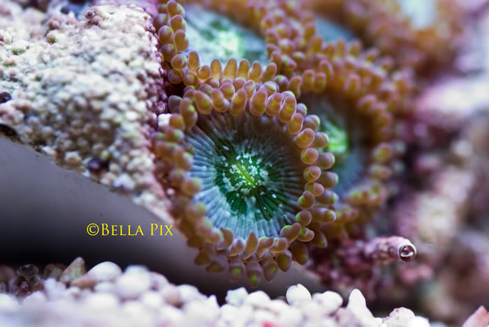Coral Reef Aquarium - Coral Collector - zoanthid Sp.