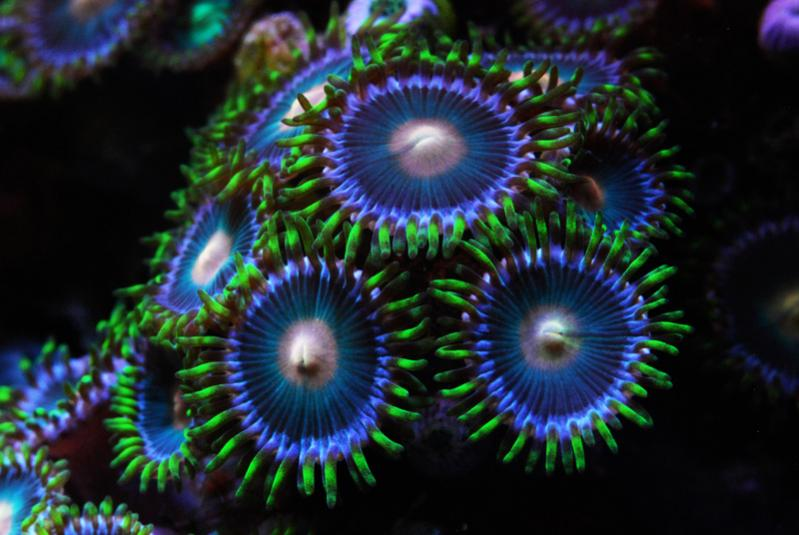 Coral Reef Aquarium - Coral Collector - Zoas
