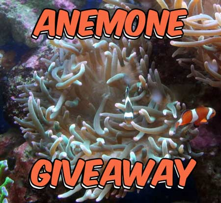Coral Reef Aquarium - CR Contests - CR Anemone Giveaway!