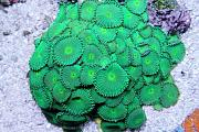 Emerald Eyes - sponsored by Premium Aquatics-green-button-polyps.jpg