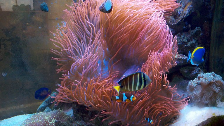 you vote now feast your eyes sponsored premium aquatics huge red bubbletip 3901 - Feast Your Eyes Photo Contest - sponsored by Premium Aquatics