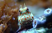 Feast Your Eyes Photo Contest - sponsored by Premium Aquatics-orange-spotted-blenny.jpg