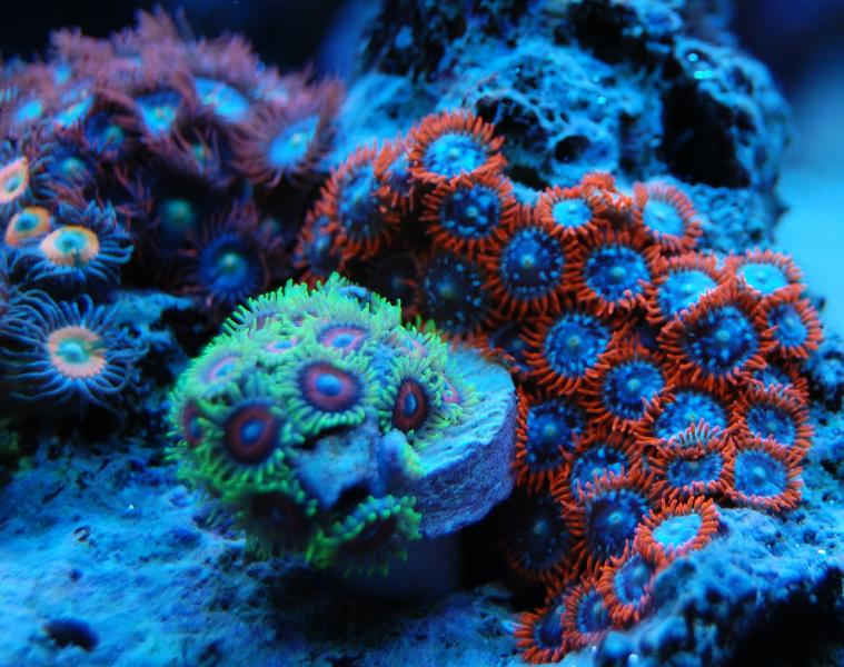 vote potm z ps sponsored blue glow zoas 5189 - Z & P photo contest - sponsored by The Blue Glow