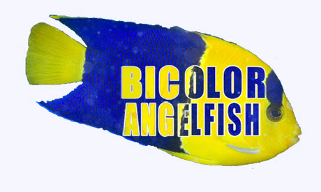 Coral Reef Aquarium - Feature Articles - Bicolor Angelfish