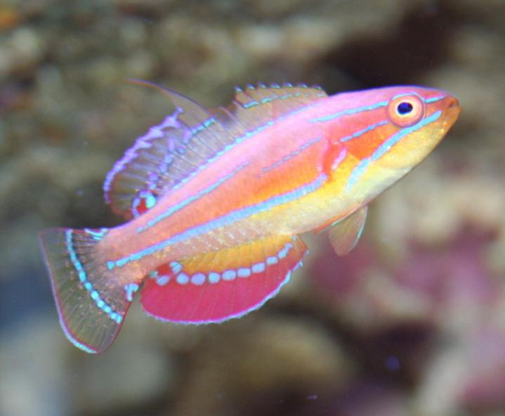 Coral Reef Aquarium - Feature Articles - McCosker's Wrasse