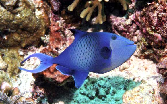 Coral Reef Aquarium - Feature Articles - Niger Triggerfish- Odonus niger