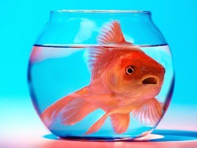 Stupid Goldfish A Bowl 21097 on Memory Of A Gold Fish
