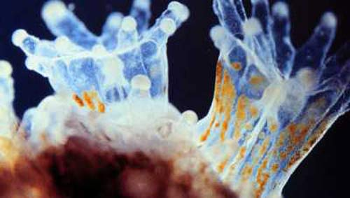 Coral Reef Aquarium - Feature Articles - Zooxanthellae