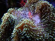 180Reefer's Bowfront Reef-cleaner-shrimp.jpg
